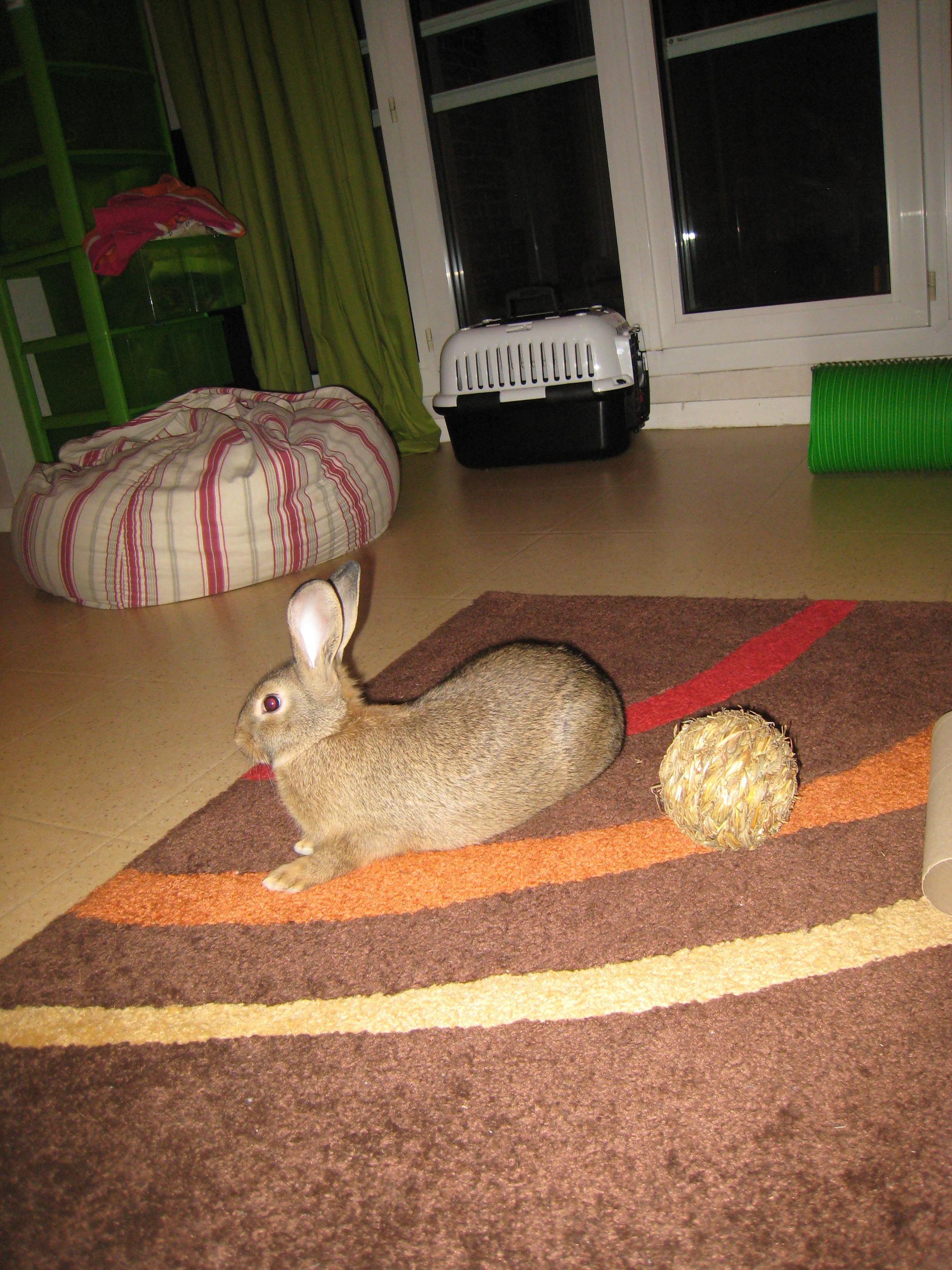 Huggy, - jeune lapin garenne de grande taille [Ani-nounou] 431275Huggy2
