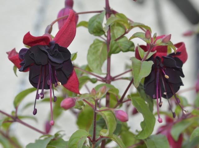 Fuchsia - espèces et variétés frileuses 432145DSC2965