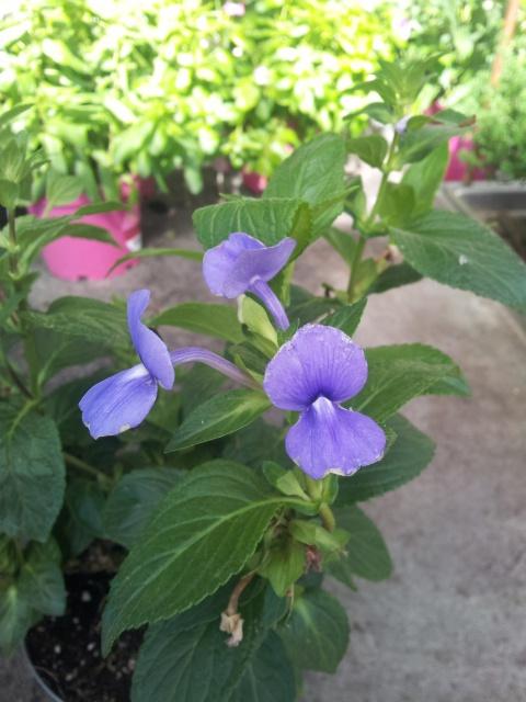 fleur bleue d'une forme peu courante , OTACANTHUS coeruleus (atlantis) 43520320160830110728