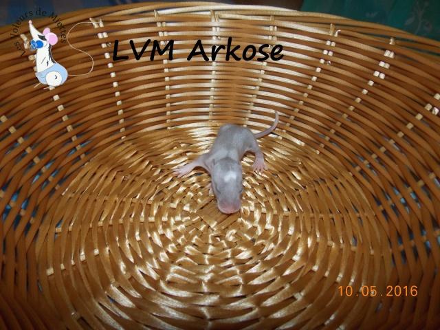 Portée 14: IND Limestone x LVM Kismi Honey 437049mlebleustandard
