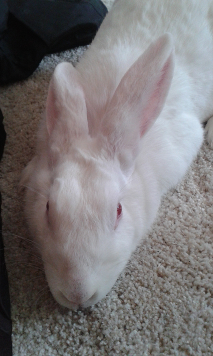 [ADOPTEE] Asae, lapine de laboratoire à adopter 437234Asae3