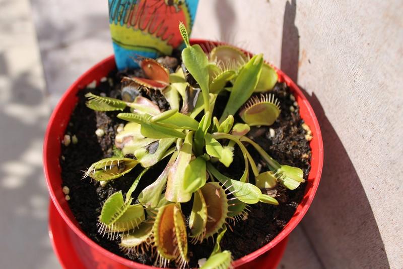 Dionaea Muscipula (Plante carnivore) 44063223aout201516Copier