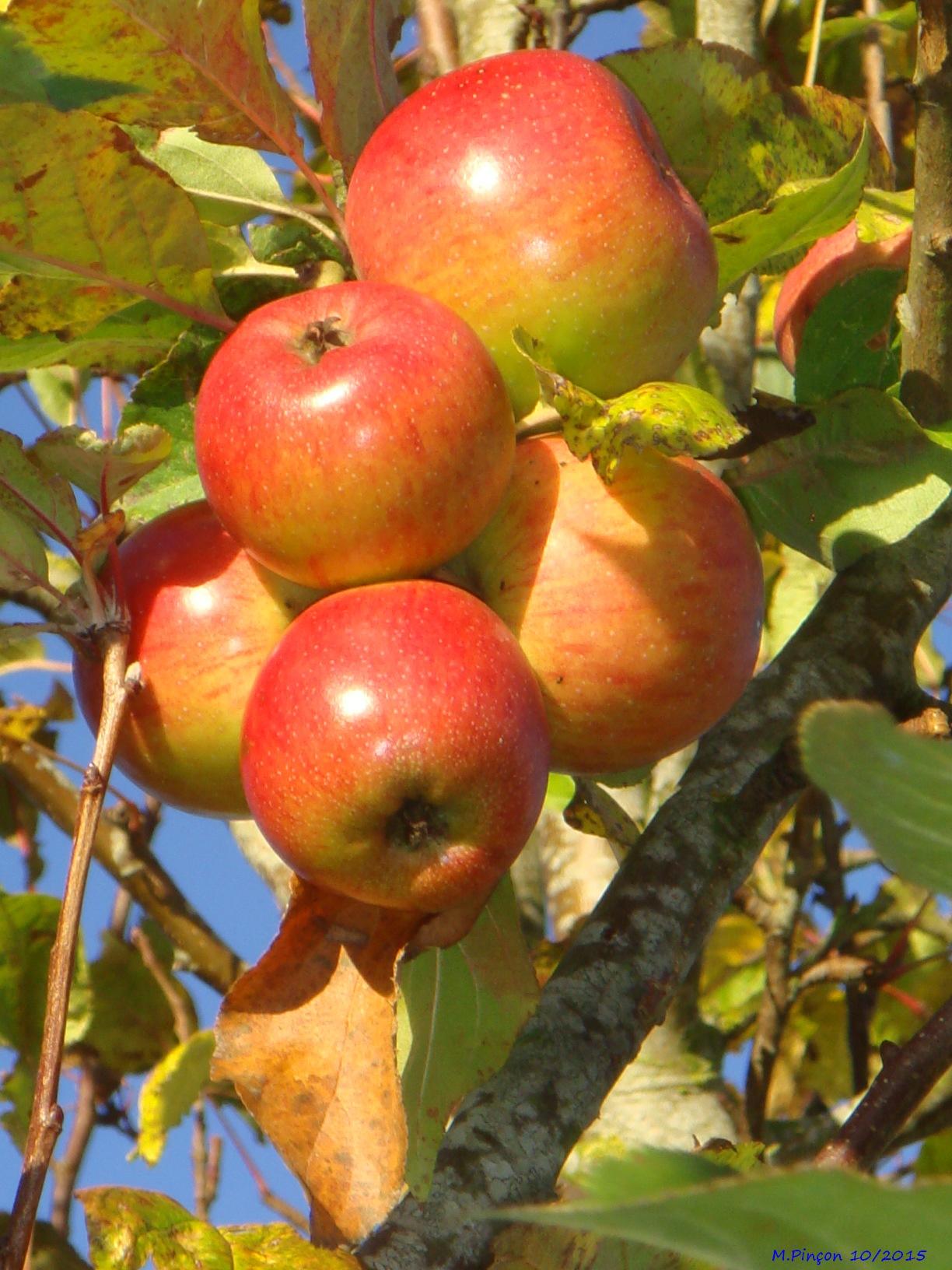 [Fil ouvert] Fruit sur l'arbre 446996DSC09785
