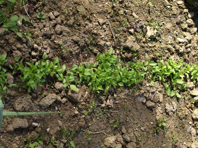 semis de dahlias 448730P5066291