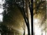 Les arbres Céléstes