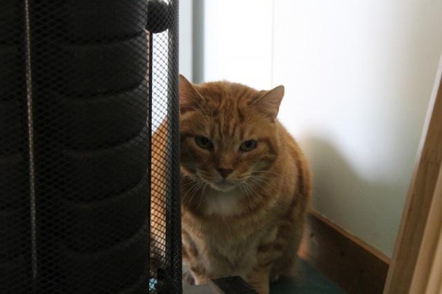 Garfield, Mâle européen (01/01/2007) - FIV+ - Page 7 456386IMG3738