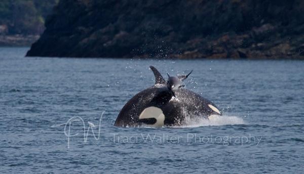Photos d'orque et leurs proies - Page 5 462269TransientorcainSanJuanChannelwithharborporpoiseonitsback