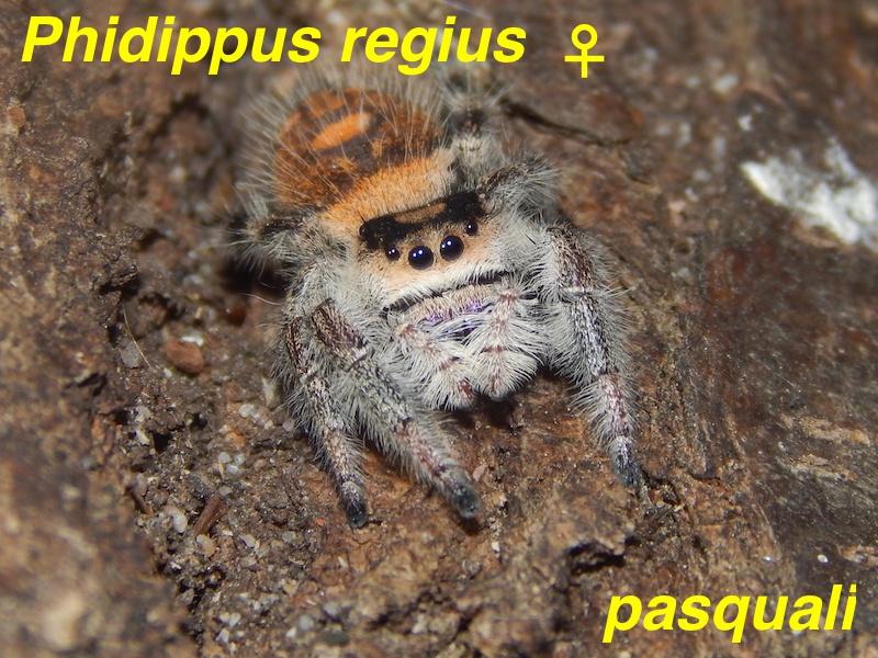 Phidippus regius... 464150RSCN4291