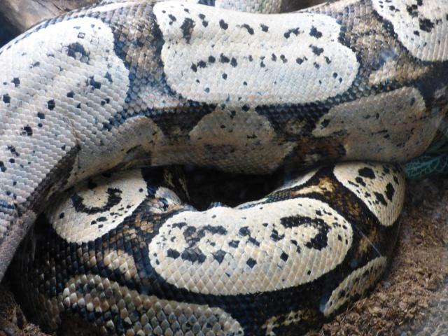 Boa constrictor amarali - Page 2 474651P1020723