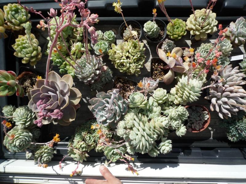 les Echeverias au bord des fenêtres... - Page 2 477138echeveria15