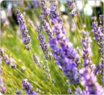 Partie Guérisseur : Les plantes de la Forêt 477622lavande