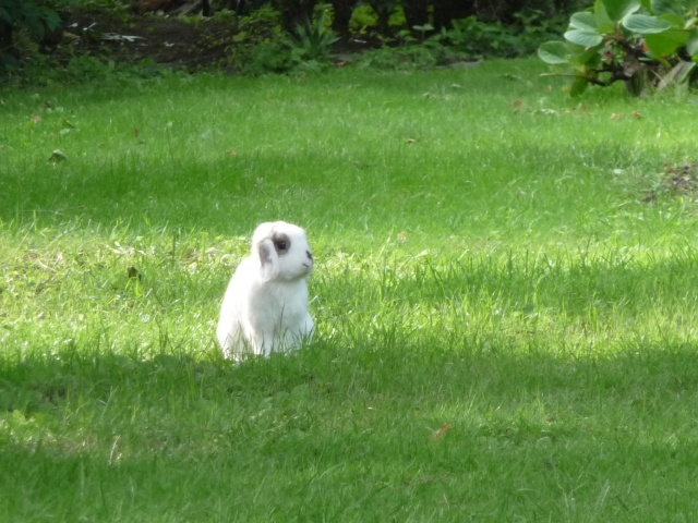 Nina, lapine bélier, née en aout 2011 - Page 7 478124P1130634