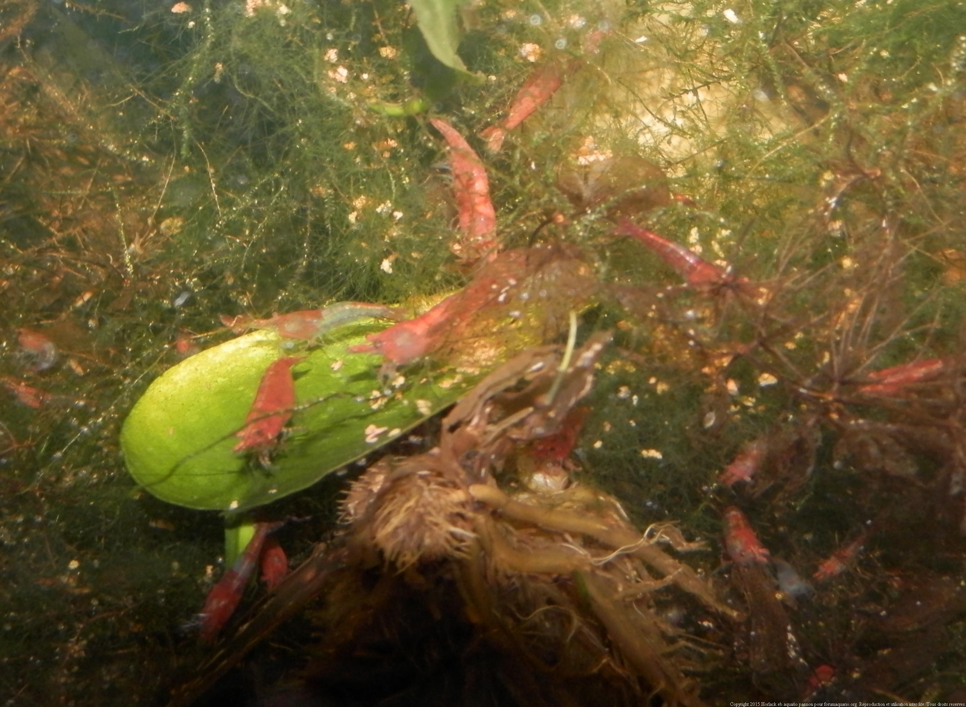 Ménagerie, plus de 3.000L d'aquariums - Page 2 479052CrevetteRedCherry0034