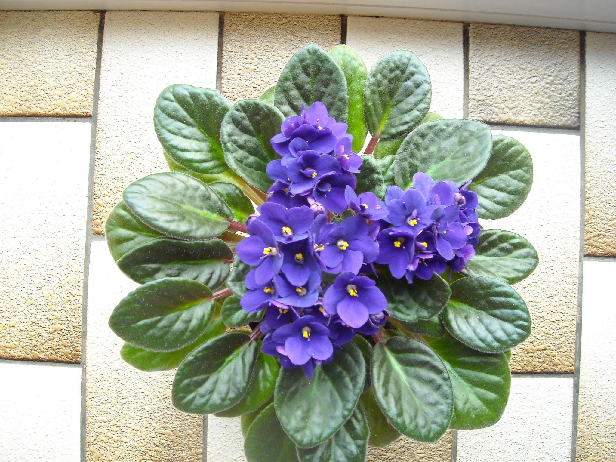 violette africaine,ou saint paulia - Page 2 479615nouvelledemaplante001
