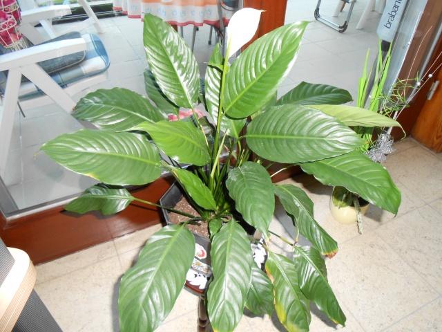 plantes d'intérieur 483529DSCN0178