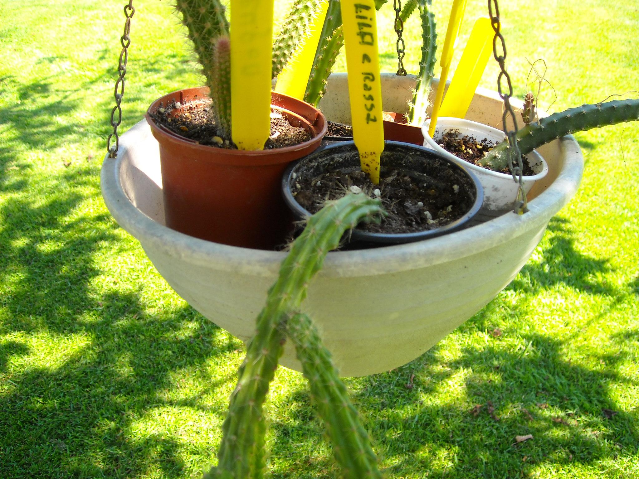 aporocactus beautg 485855potetaporoc009