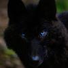 Les images des loups 489451imgflumine