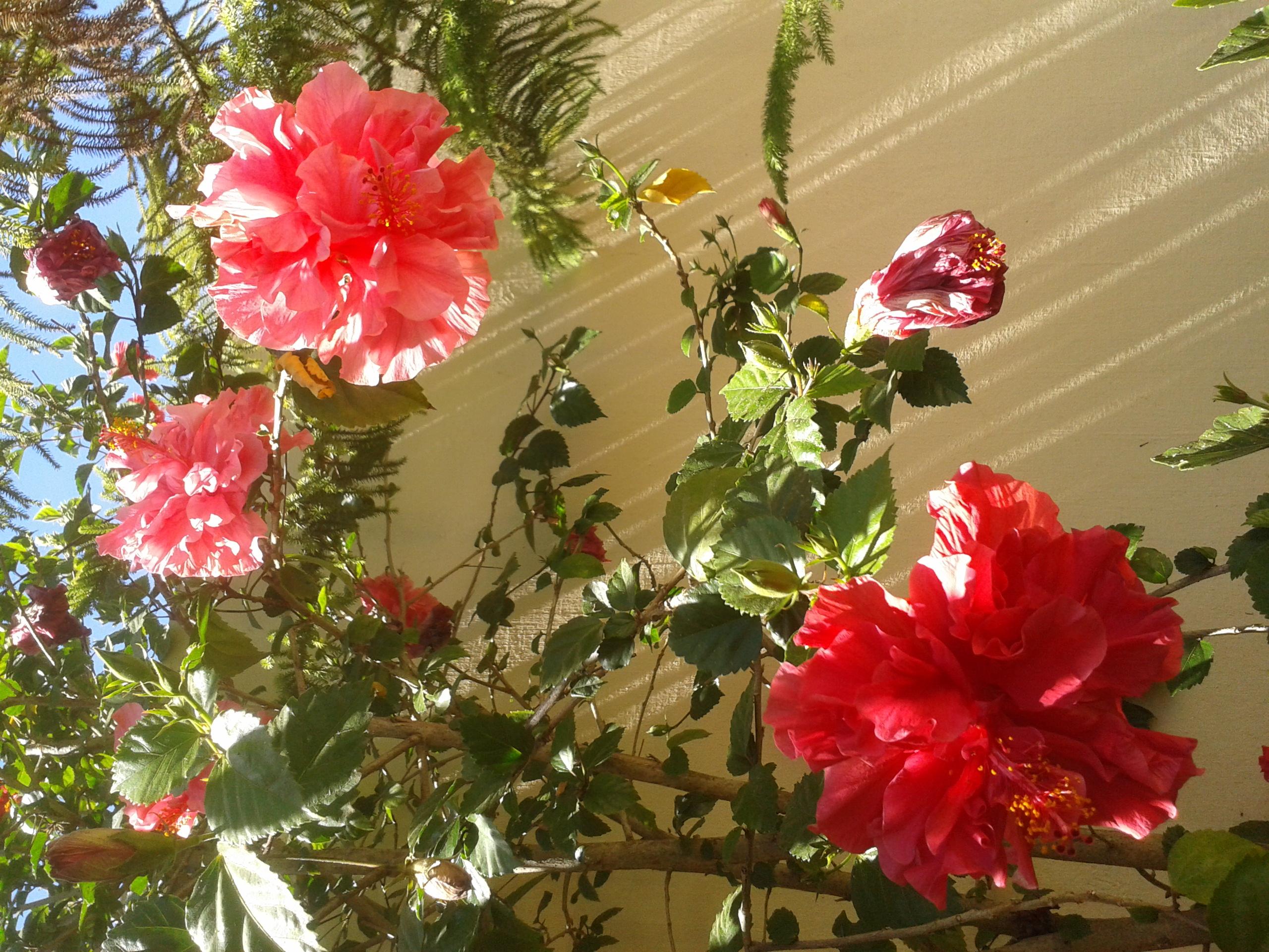 Voici mes quelques hibiscus en fleurs 49470620130618153506