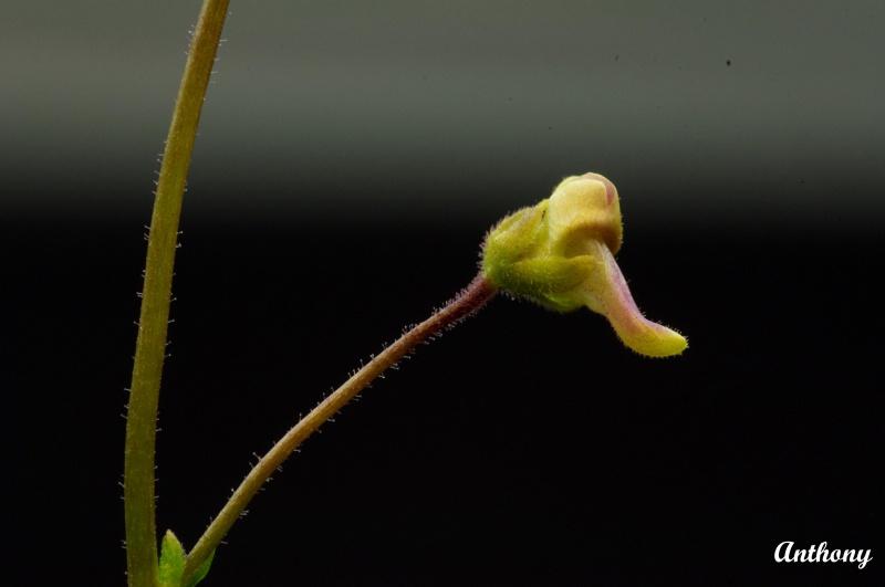 Genlisea Africana 495023Africana6