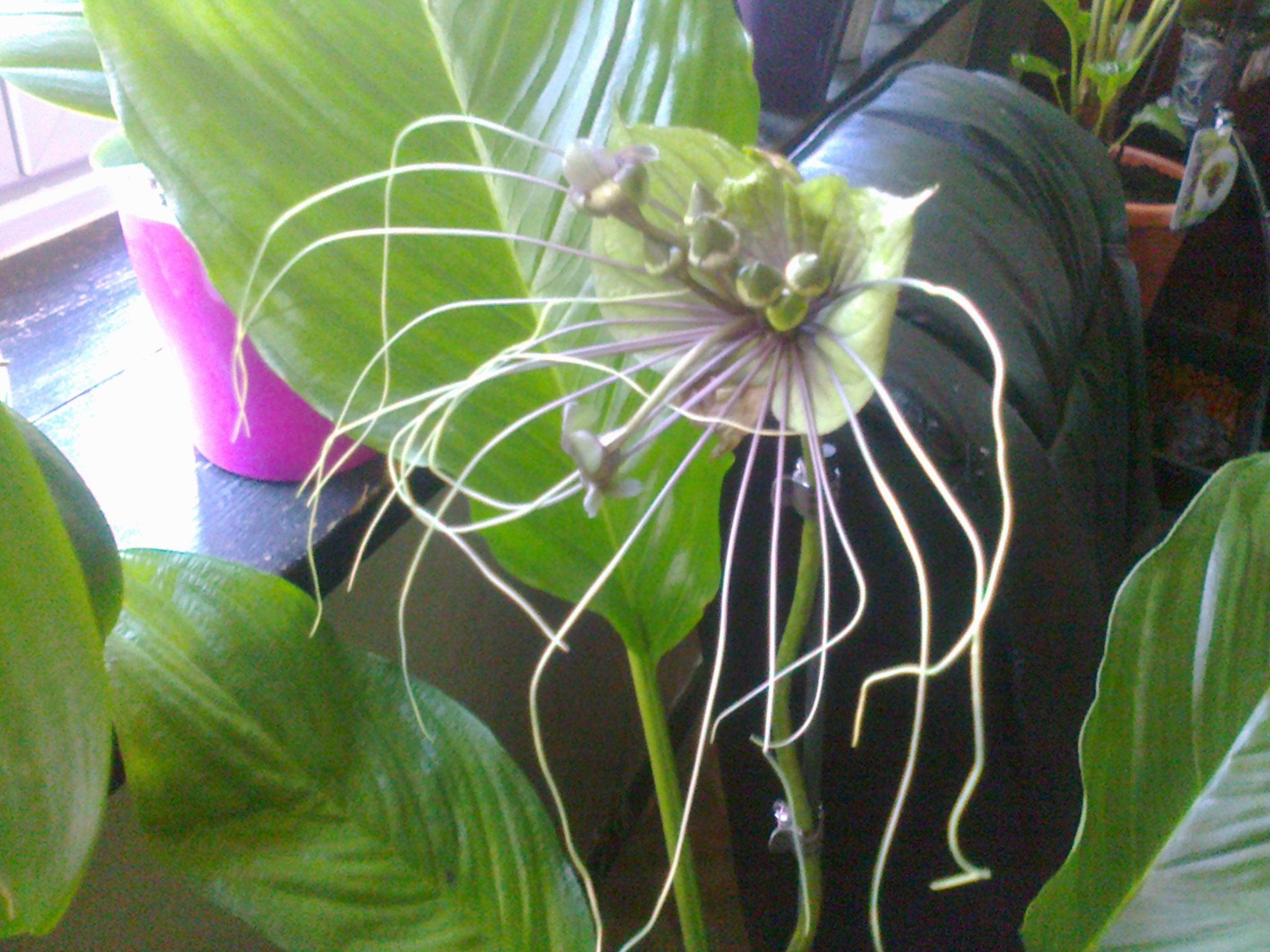 tacca green - Page 3 496550Photo0070