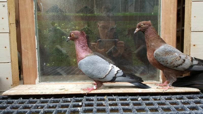 Elevage de pigeon chez Théo 49697720160406111456