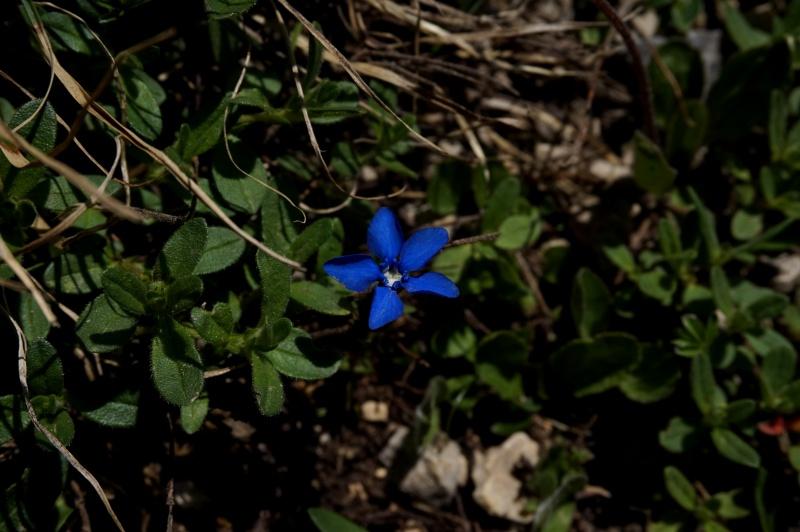 pas de carni mais de jolies plantes alpines ! 496990DSC03426