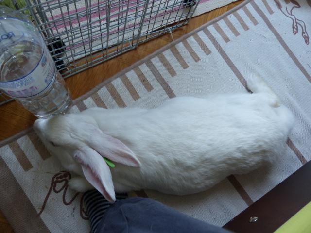 [ADOPTEE] Acacia, lapine de laboratoire à adopter 498029P1150190