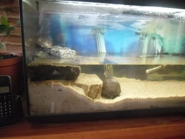 L 39 aquarium de mes deux pelomedusa for Aquarium tortue aquatique