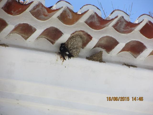 Oiseaux vus au Portugal 502775f4035520