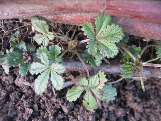 les mauvaises herbe dans le jardin 503294IMG2392
