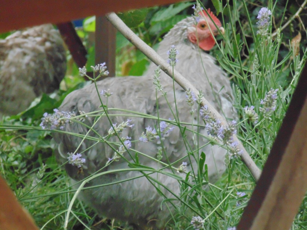Orpington naines des hautes herbes. 503640DSC054180001