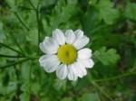 Partie Guérisseur : Les plantes de la Forêt 505216camomille