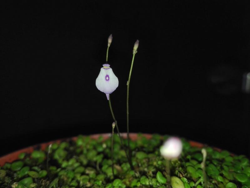 Utricularia pubescens 505390IMG20160407113632