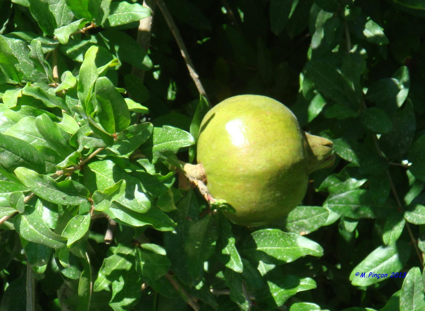 [Fil ouvert] Fruit sur l'arbre 509443DSC05657