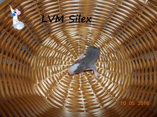 Portée 14: IND Limestone x LVM Kismi Honey 513643mleagoutistandard