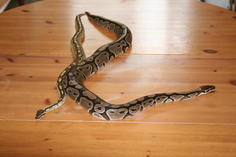 python regius pastel lesser et classique 514361IMG1129