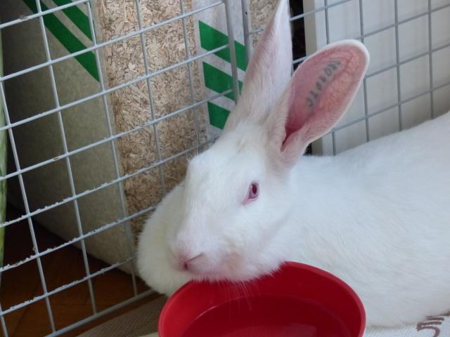[ADOPTEE] Acacia, lapine de laboratoire à adopter 517818P1140985