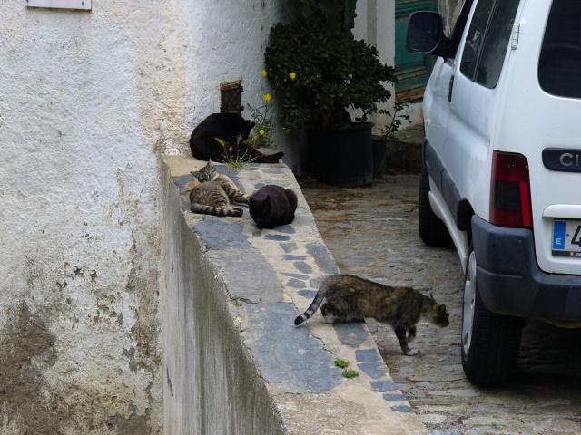 Chats errants en Espagne 520978P1070124