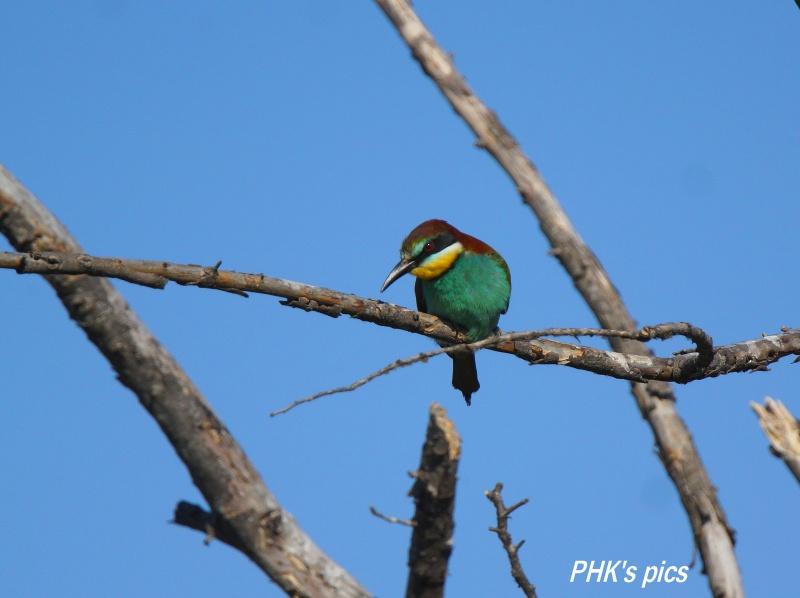 Oiseaux sauvages : Les guêpiers 524656GupierStGermain1
