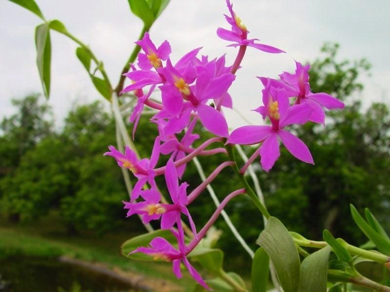 Epidendrum ibaguense 525484DSC05890800x600