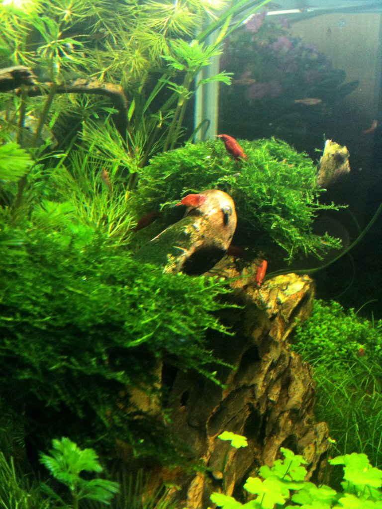 Mon Scaper's Tank 50L Aquascaping - Page 2 525848IMG0457