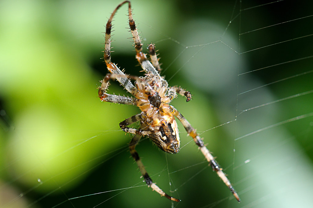 (FIL OUVERT à tous) vous aimez les araignées? 526675DSC67090904151510
