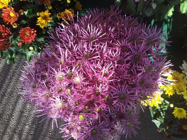 chrysanthèmes à gogo 52943420141028084812