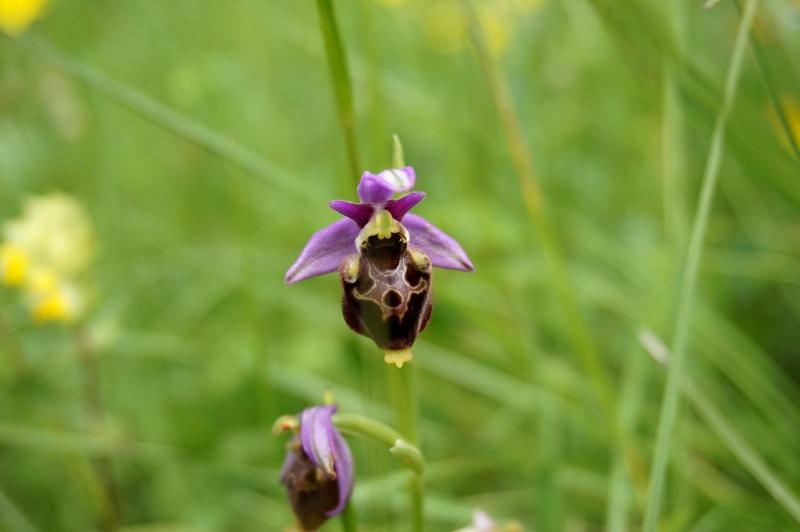 pas de carni mais de jolies plantes alpines ! 531350DSC03081