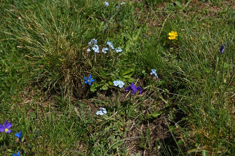 pas de carni mais de jolies plantes alpines ! 533654DSC03459
