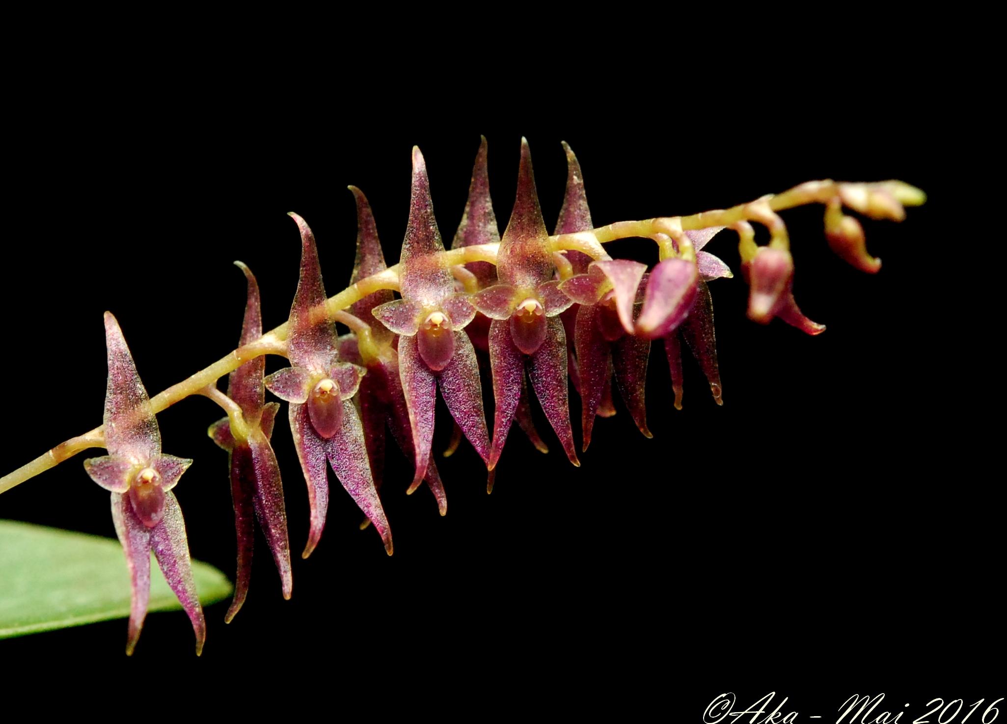 Lepanthopsis astrophora x acuminata 534064lepanthopsis