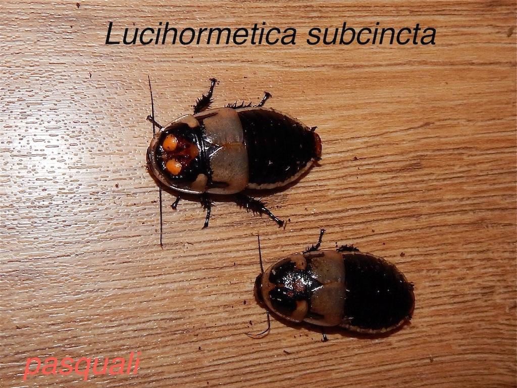 Quelques blattes. 534615RSCN1523