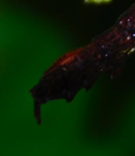 Aretaon asperrimus, Trachyaretaon brueckneri ou autre ??? 542024derrirefemelle