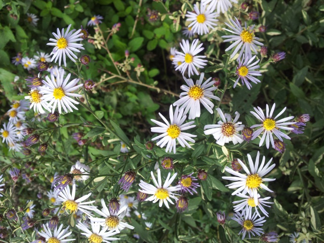 Aster d'automne  - Page 19 54251120161011154014