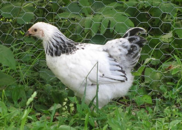 Avis sur le plumage de jeunes brahma 543084IMG4035